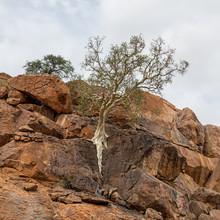 Large-leaved Rock Fig