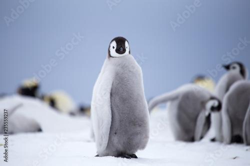 Carta da parati Emperor Penguin chick, Antarctica.