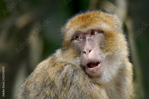 Fotografie, Obraz  Portrait of a Barbary Macaque