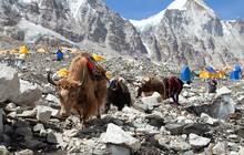 Caravan Of Yaks In Everest Bas...