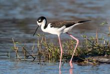 Black Necked Stilt In Marsh