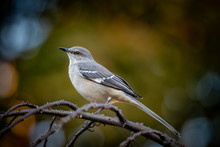 Mockingbird On A Branch