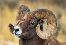 Ram Close Up