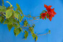 Red Bougainvillea Flower On A ...