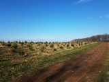 rows of green pine Christmas trees at farm and dirt path
