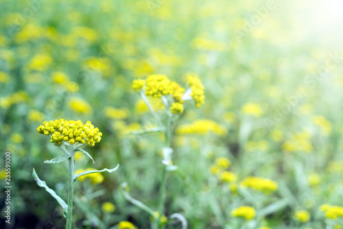 Gnaphalium affine/Yellow flowers/Spring background Wallpaper Mural