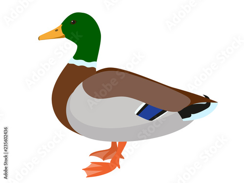 Canvastavla Drake duck isolated on white background, vector illustration of male mallard duc