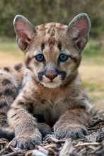 Baby Cougar, Mountain Lion Or ...