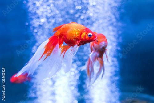 Valokuva  Gold fish in an aquarium