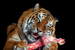 canvas print picture - Tiger eating meat on black background