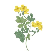 Celandine Or Nipplewort Flowers Isolated On White Background. Botanical Drawing Of Wild Poisonous Plant Or Toxic Wildflower Used In Herbal Medicine. Colorful Realistic Floral Vector Illustration.