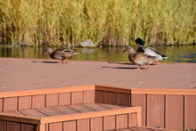 Beautiful Ducks On A Wooden Br...