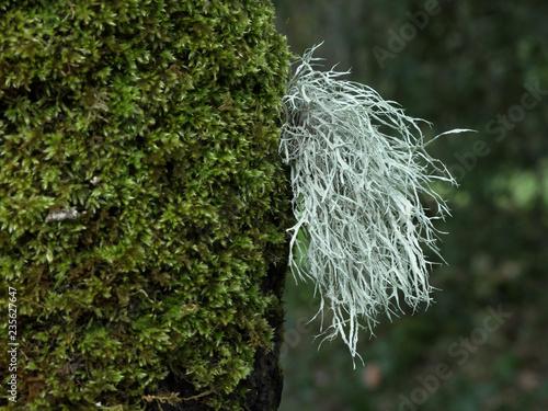 Fényképezés  Old Man's Beard (Usnea) On Tree Moss