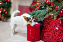 Beautiful Pet Dog With Christmas Gift Box Near Xmas Tree With Red Toys