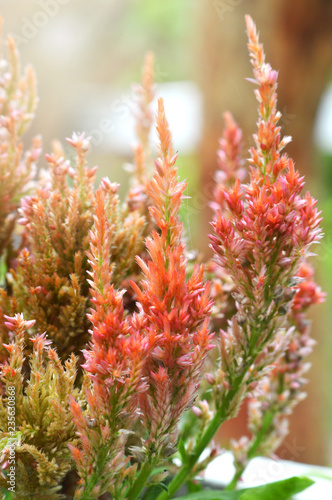 Fotografie, Obraz  ockscomb flower in the garden / colorful orange plumed cockscomb flower