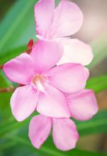Pink Oleander Flower In The Ga...