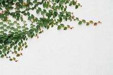 Creeping Fig Vine On White Plaster Wall