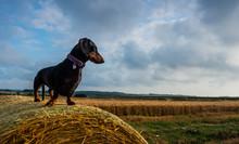 Dachshund On Hay Bale
