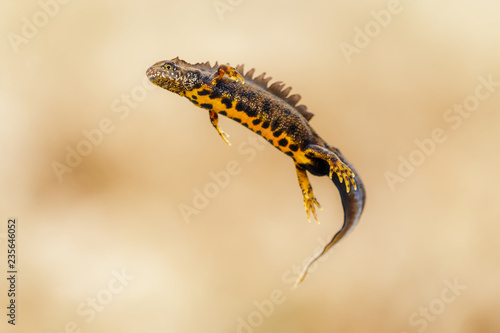Photo Triturus cristatus