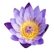 Purple Water Lily With A Bee Inside A Flower, Isolated On A White Background. Lotus Flower Isolated On White Background. Top View Of Purple Water Lily On White Background