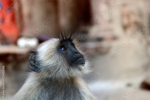 Langur monkey portrait on the background of ancient temple Wallpaper Mural