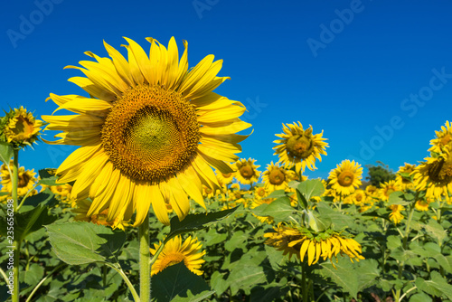 Fotografía  Beautiful landscape with field of blooming sunflowers field over cloudy blue sky and bright sun lights