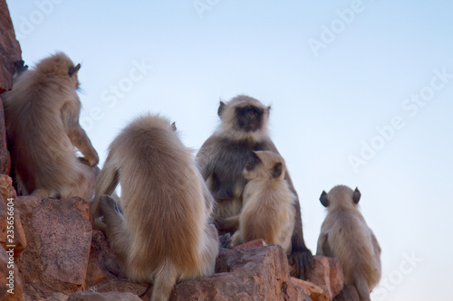 Langur monkey on the ruins of the sacred temple. Wallpaper Mural