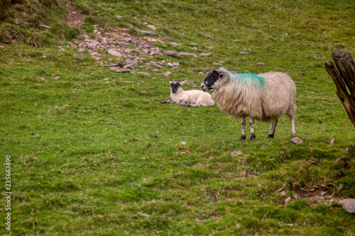 Poster Sheep Irland