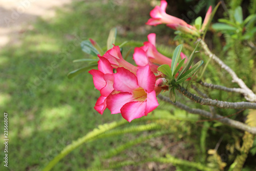 Desert Rose or Mock Azalea, beautiful pink flower in garden.