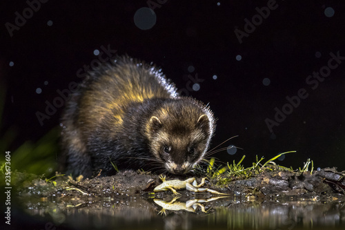 European polecat with frog prey Fototapeta