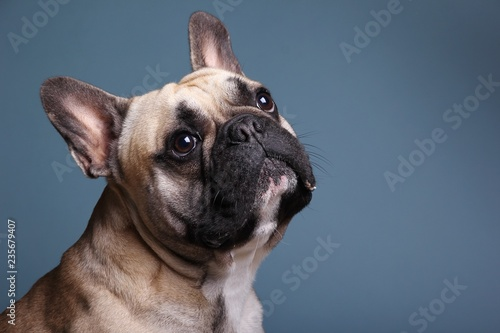 Bulldog in front of a colored background