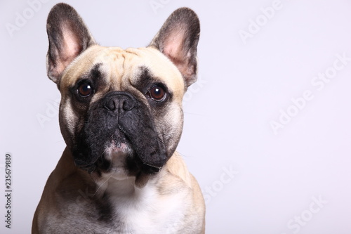 Spoed Fotobehang Franse bulldog Bulldog in front of a colored background