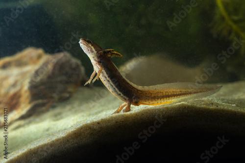 Fotografia, Obraz  Tadpole of Common newt, Triturus vulgaris