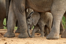 Cute Elephant Calf Rubbing His...