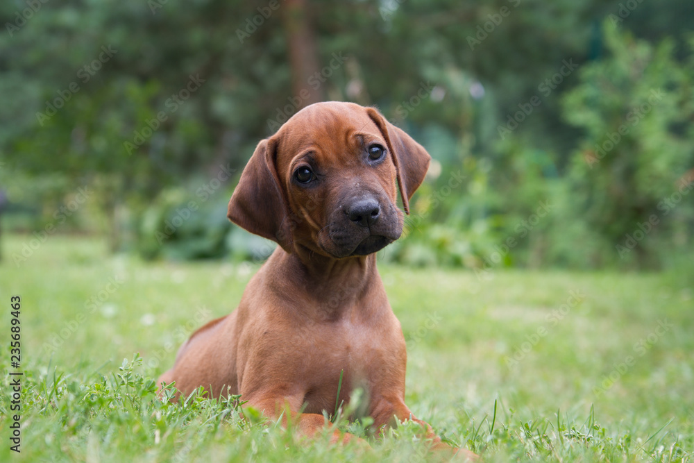 Fototapety, obrazy: Rhodesian ridgeback puppy in the green park. Small puppy portrait.