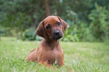 Rhodesian Ridgeback Puppy In T...