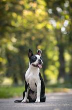 Boston Terrier Dog Posing In City Center Park. Young Boston Terrier