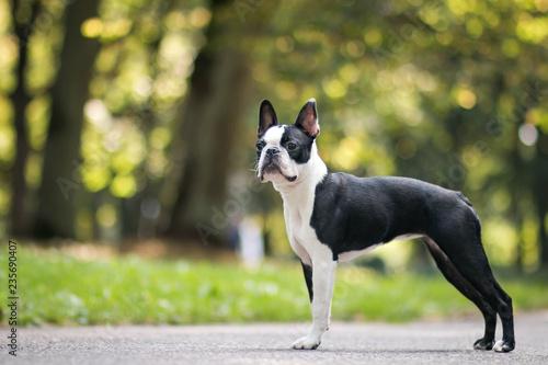 Papel de parede Boston terrier dog posing in city center park