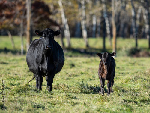 Photo Black Angus Cattle on an autumn day on a Minnesota Ranch