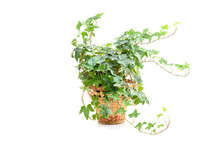 Hedera Helix, Ivy Plant In Flower Pot