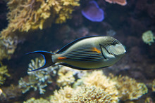 View Of A Sohal Surgeonfish