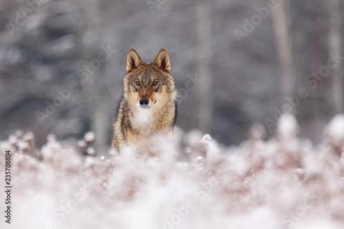 Платно  Wolf im Winter