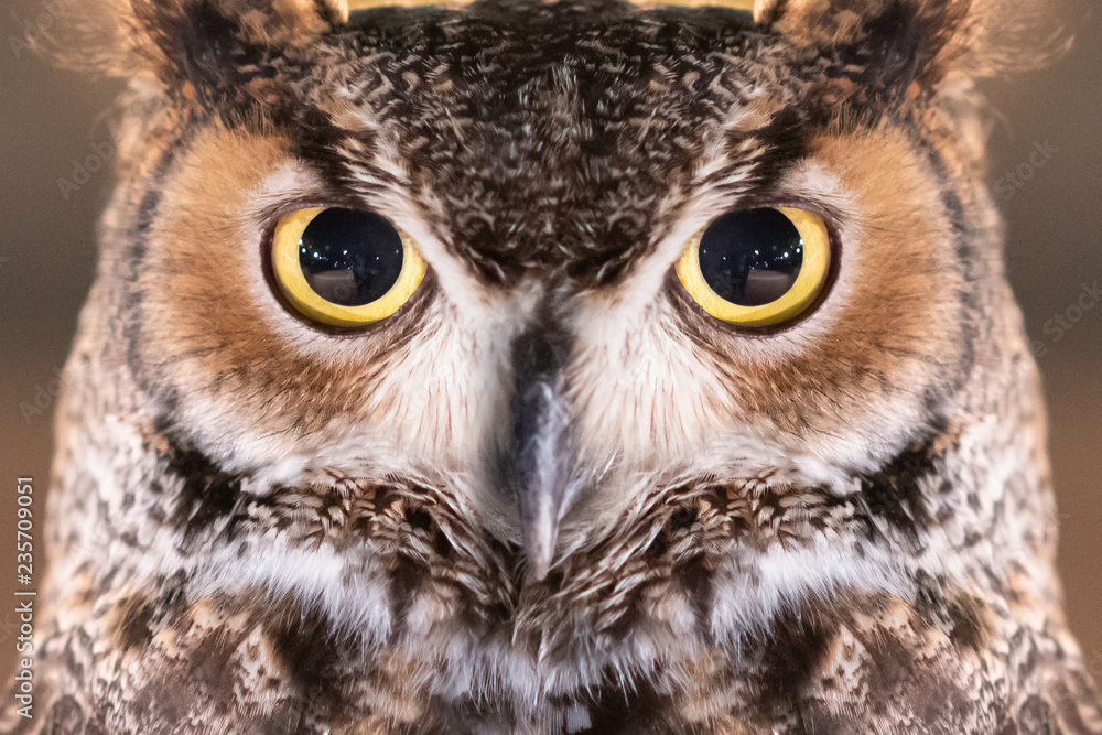 Fototapeta Close-up on Great Horned Owl Face and Eye