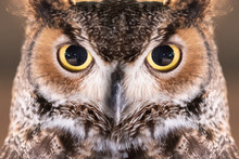 Close-up On Great Horned Owl F...