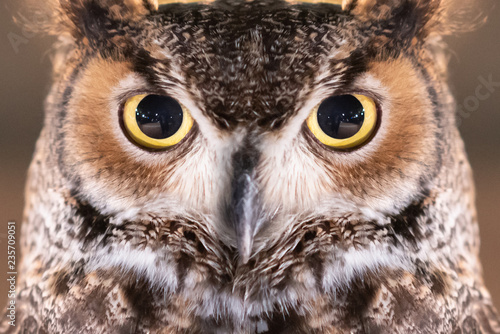 Photo  Close-up on Great Horned Owl Face and Eye