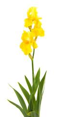 yellow iris isolated