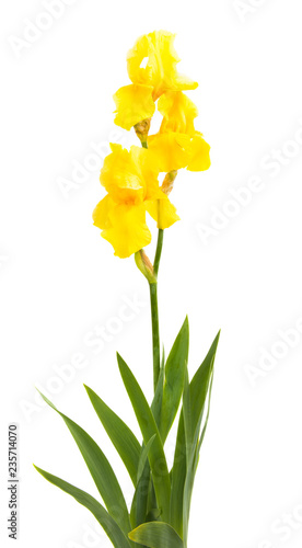 yellow iris isolated