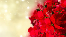 Scarlet Poinsettia Flower Or Christmas Star On Festive Background With Glitter