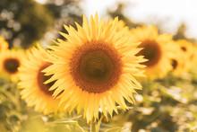 Sunny Sunflower Field.