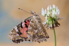 Farfalla Vanessa Del Cardo (Vanessa Cardui)